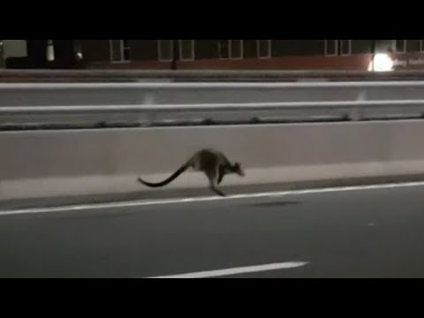Wallaby gives cops the hop on Sydney Harbour Bridge | ITV News