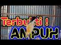 Ampuh Pancingan Cendet Paling Handal Untuk Merangsang Cendet Males Bunyi Agar Gacor Fighter  Mp3 - Mp4 Download