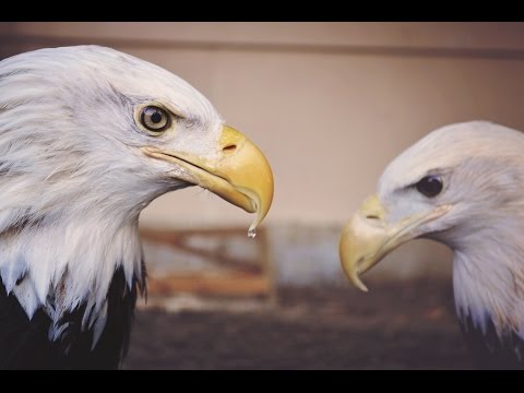 Powerful Symbol Of America - BALD EAGLE