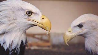 13 Amazing Bald Eagle Facts