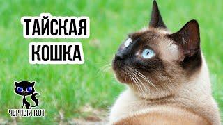 Тайские кошки / Интересные факты о кошках