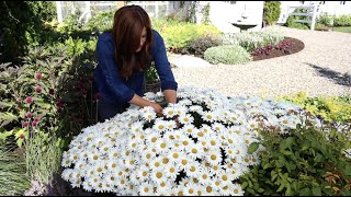 Daisies in Full Bloom ' Daisy May' 🌿