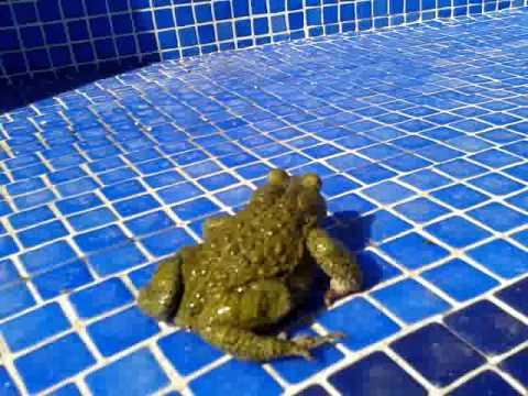 Toad In My Swimming Pool Diferece Between Frogs Toads