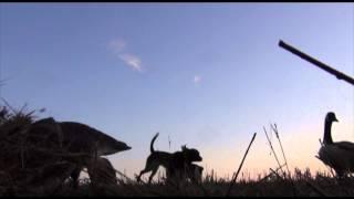 Springer Spaniel Retrieve Goose