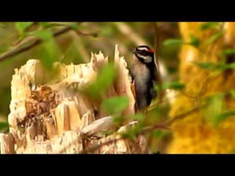 Downy Woodpecker Vancouver Island Bc Gohiking Ca