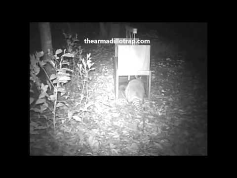 The Armadillo Trap Working Its Magic
