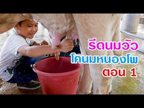 รีดนมวัว ศูนย์การเรียนรู้การเลี้ยงโคมนม สหกรณ์โคนมหนองโพ ตอน 1 | Vlog EP51  เต๋อพาเที่ยว