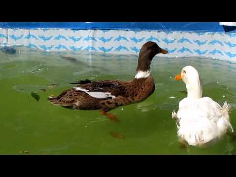 Patos nadando en un estanque casero youtube for Estanques para patos prefabricados