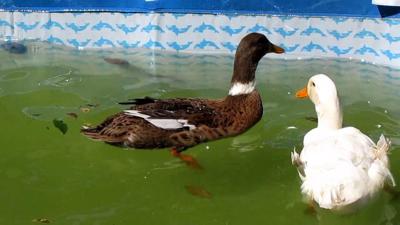Patos nadando en un estanque casero youtube for Imagenes de estanques para patos