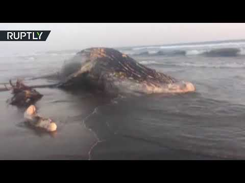 25+ tonne whale beached in Nicaragua