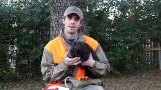 Boykin Spaniel Training 001 (Introducing your Puppy)