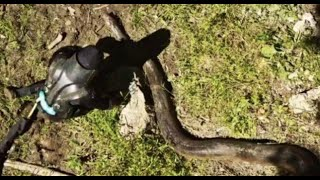 Video Eaten Alive By An Anaconda? [VIDEO] download MP3, 3GP, MP4, WEBM, AVI, FLV Juli 2018