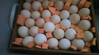 Инкубация индюшиных яиц по шагам для чайников / 6-14 сутки