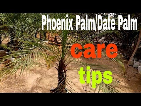 How To Care Phoenix Palm/Date Palm (Hindi)