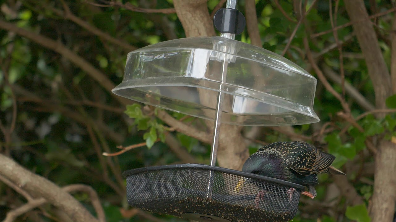 Starling eating meal worms