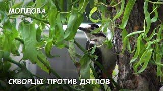 Мир Приключений - Скворцы прогоняют дятлов из гнезда. Птичьи бои. Птицы в дикой природе.