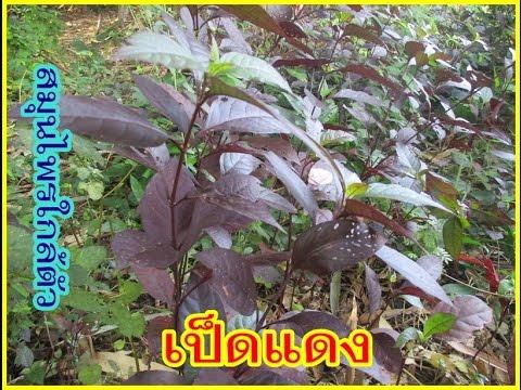 ผักเป็ดแดง พืชสมุนไพรไทย
