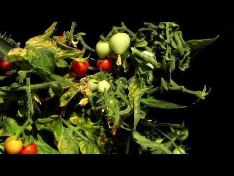 Growing Mini Tomatoes Timelapse