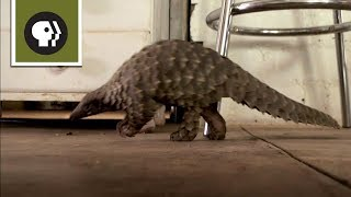 Abused Baby Pangolin Gets a New Home