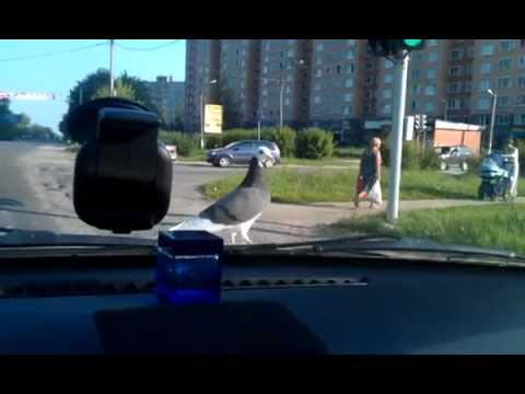 Видео Голубь сел на правое плечо к чему