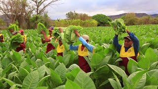 How Cigar is Made - Tobacco Plantation Agriculture Technology - Tobacco Farm and Harvesting