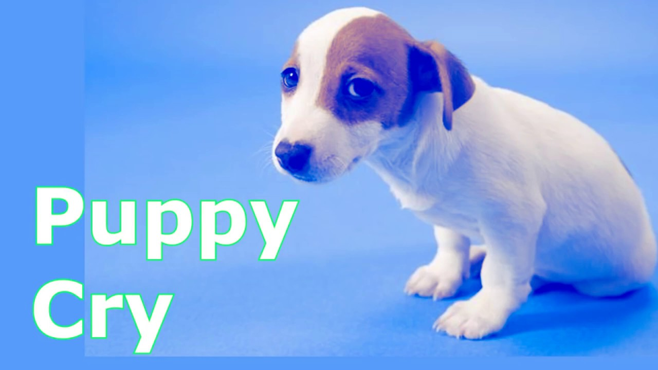 Puppy Crying At Night >> Puppy Crying Sound Puppy Crying Sound Effect To Stimulate Your Dog