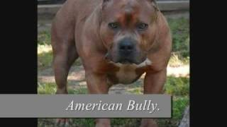 Behind The Breed: American Pit Bull Terrier Dogs.