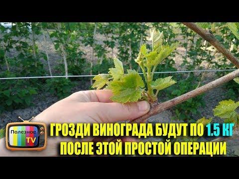 Как растет кисть винограда видео