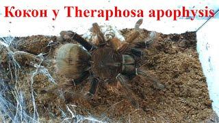 Терафоза апофизис разведение (Theraphosa apophysis breeding)