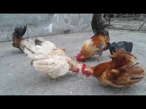 Ayam serama vs ayam kate