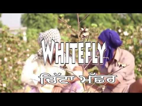 Whitefly (Chitta Machhar)