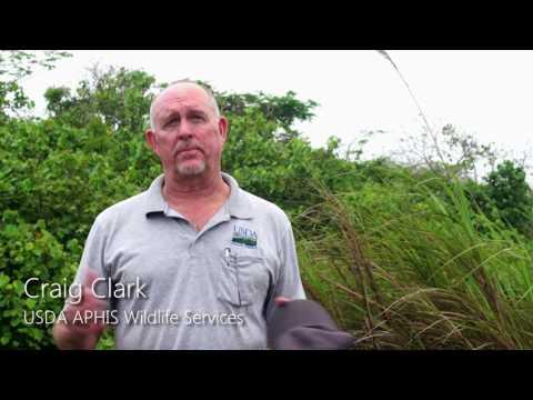 Battling the Brown Treesnake Aerial Bait Drops on Guam