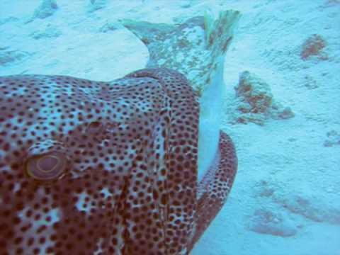 Monster Grouper Attacks Shark