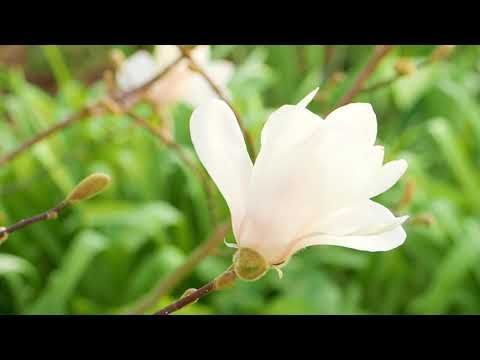 Sternmagnolien - Urzeitblumen für den Vorfrühling
