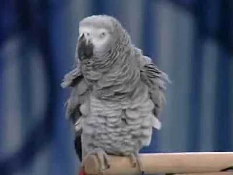 amazing bird!!!he talks like a human being!!!