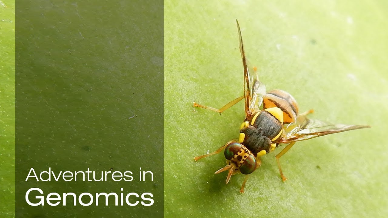 The Fruits of Fruit Fly Research| Adventures in Genomics
