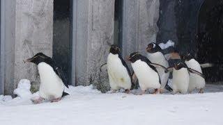 旭山動物園のペンギン達。室内から聞こえてくる甲高いイワトビの鳴き声...