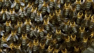 Massive Bee Colony Buzzing In Sync To Scare Off Predators | BBC Earth