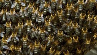 Massive Bee Colony Buzzing In Sync To Scare Off Predators | BBC Earth
