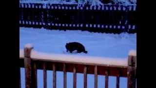 Czech Gsd, Beagle, & Yorkie, New Snow, Morning Potty.