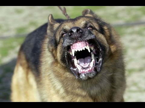 Top 10 most deadliest dog  breeds in the world