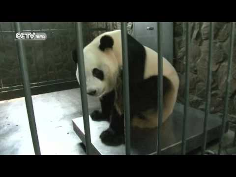 China, world welcome first panda cub to be bred in captivity in 2016