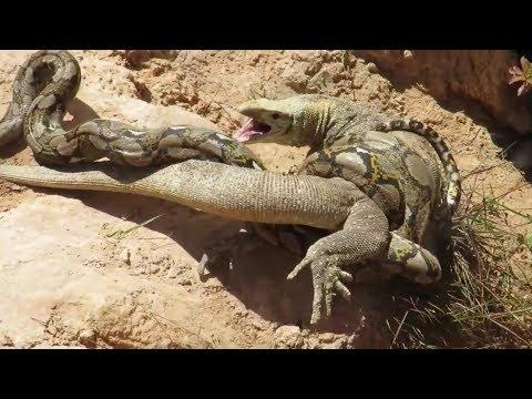Вопрос: Может ли комодский варан быть толерантным к яду кобры или нет?