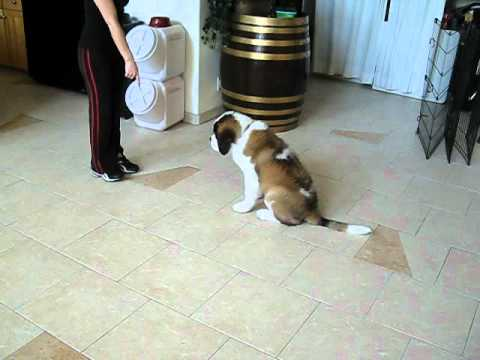 Training A Puppy Saint Bernard At 14 Weeks Old