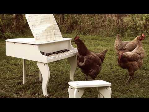 Курица играет на игрушечном рояле (пианино)