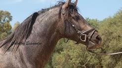 Andalusier PRE kaufen in Spanien