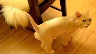 США, Стрижка Котов :) Как постричь кота в Америке?(, 2014-03-18T02:48:29.000Z)
