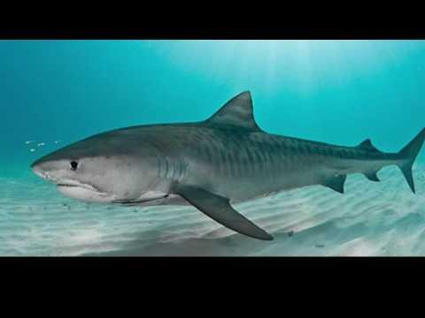 Tiger Sharks 2016-17 Mix