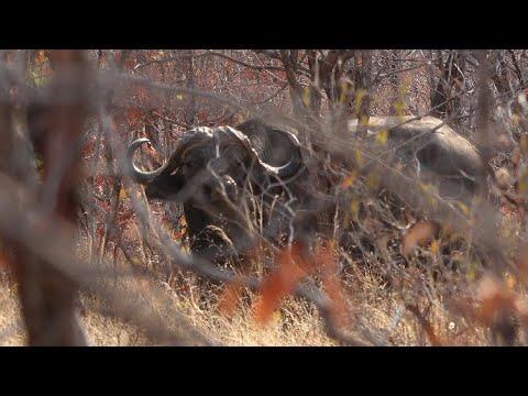 (Hunting 3 African Cape Buffalo) 'ZAMBEZI BLACK DEATH' full movie