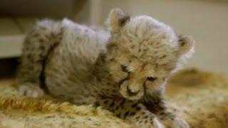 видео Маленький компаньон для детенышей гепарда